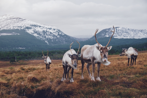 Reindeer and Snowy Mountains, all inclusive tours in Scotland